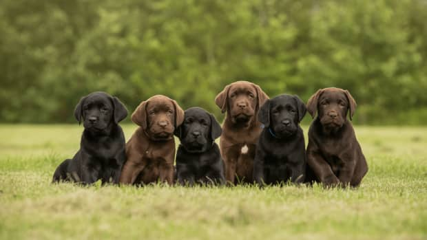 facts-about-labrador-dogs