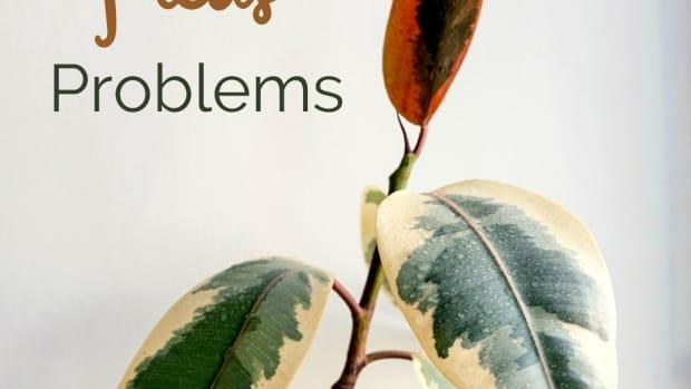 ficus-tree-problems