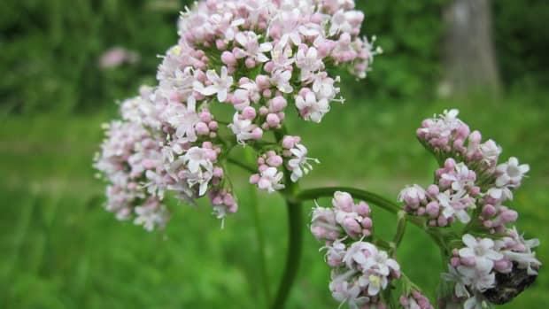 how-to-grow-valerian-valeriana-officinalis