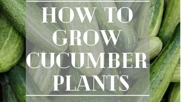 growing-cucumbers-how-to-grow-cucumbers-plants