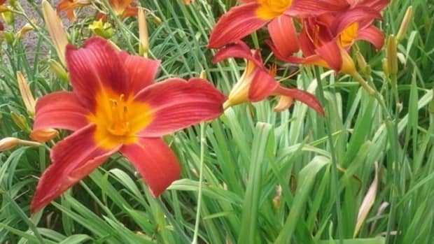 daylilies-the-perfect-perennials