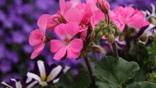 planting-perennials-4-simple-perennials-to-add-to-your-garden