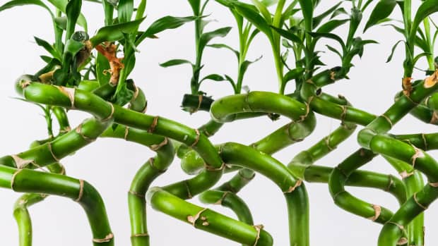 the-truth-about-lucky-bamboo