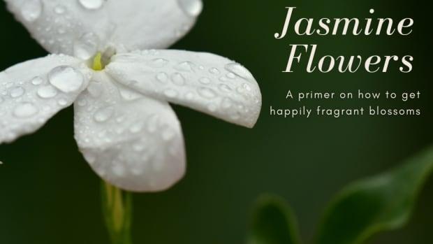jasmineflowergrowingtips