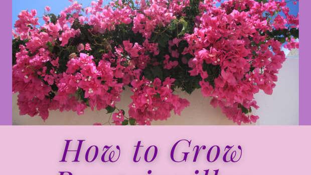 bougainvilleagrowingtipshowtogrowshrub