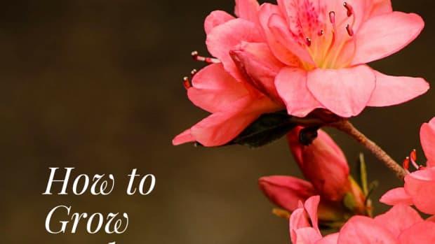 how-to-grow-azaleas