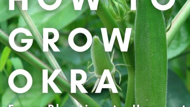 how-to-successfully-grow-your-own-okra