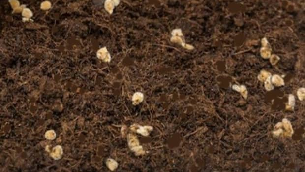 why-tomato-seeds-not-germinating