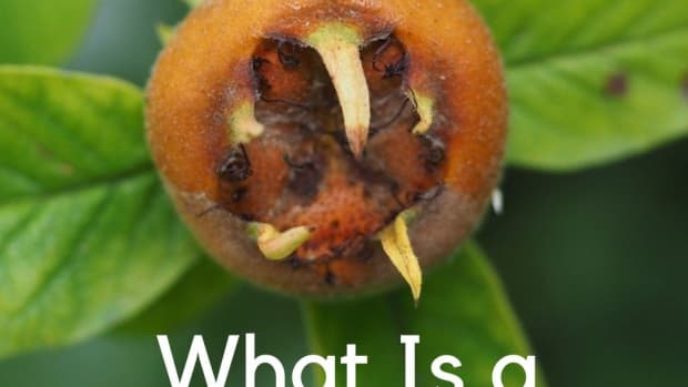 what-is-a-medlar