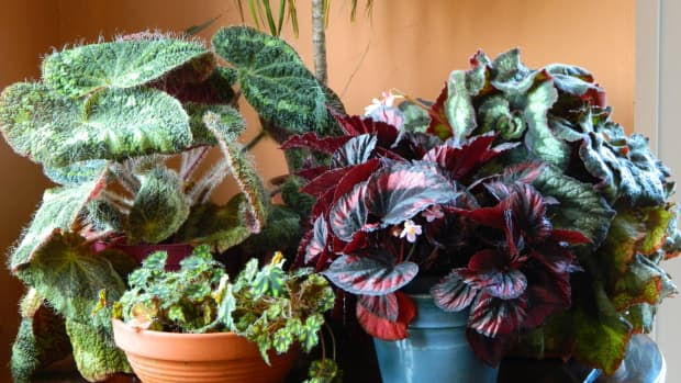 how-to-repot-an-indoor-begonia