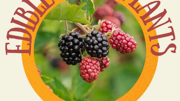 -edible-wild-plants-in-zone-5