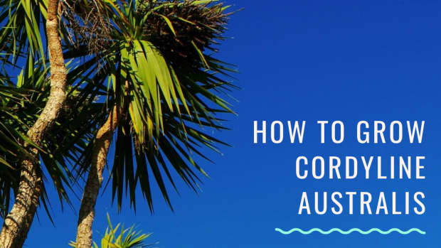 cordyline-australis-a-tropical-palm-tree-for-a-cooler-climate