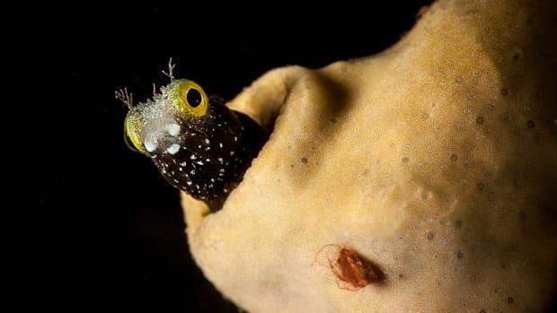 meet-the-cute-aquarium-fish-with-heroin-like-venom