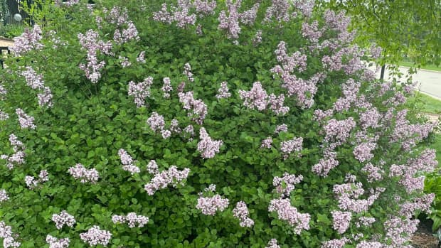 how-to-grow-and-maintain-korean-lilac