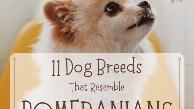11-dogs-that-look-like-pomeranian