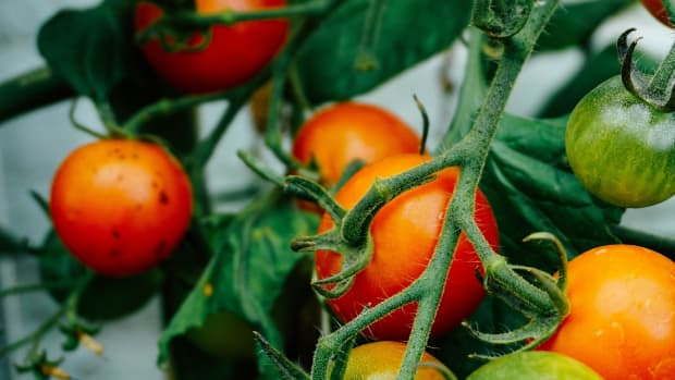 how-to-get-the-highest-yield-and-best-flavor-from-tomatoes