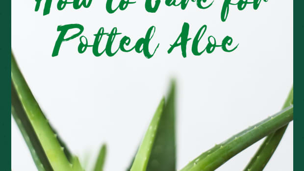 how-to-care-for-aloe-plants