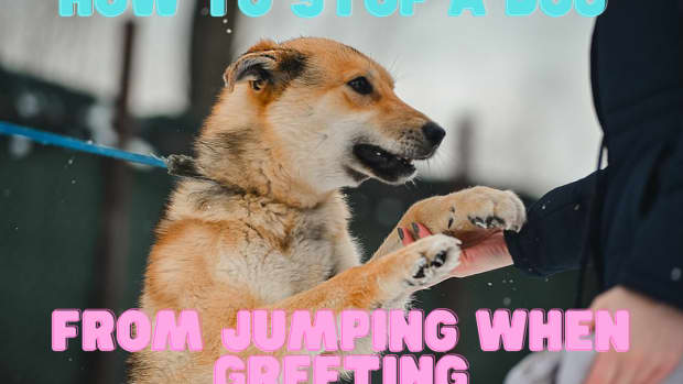 how-to-stop-a-dog-from-jumping-when-greeting