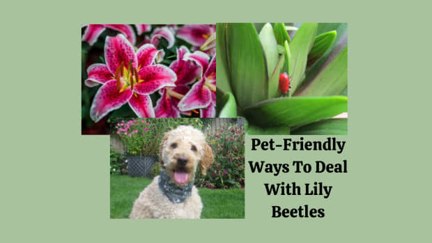 pet-friendly-organic-ways-to-deal-with-lily-beetles