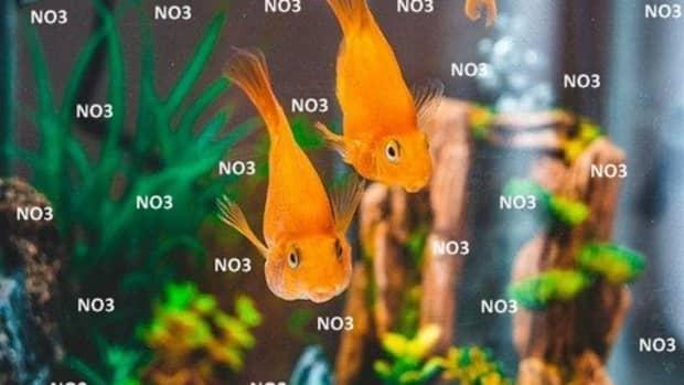 how-treat-nitrate-poisoning-goldfish