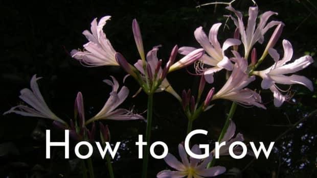 magic-lilies