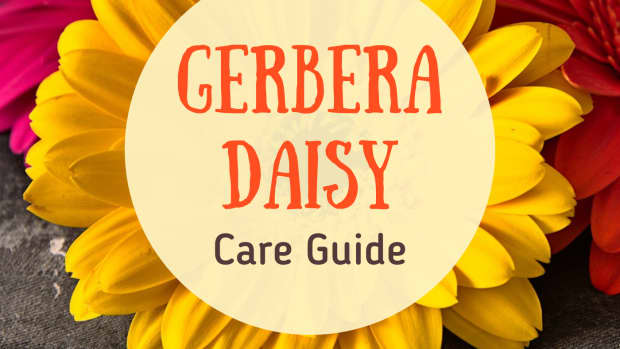 how-to-care-for-the-gerbera-daisy
