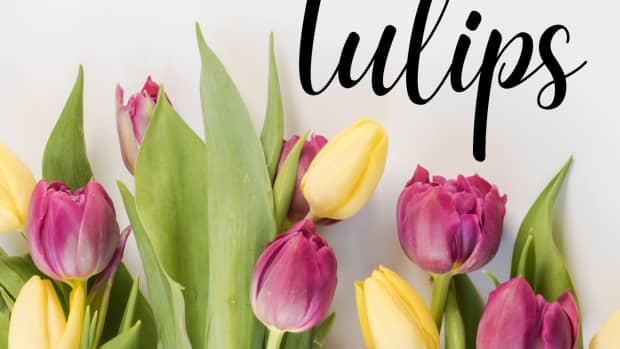 how-to-care-for-tulips