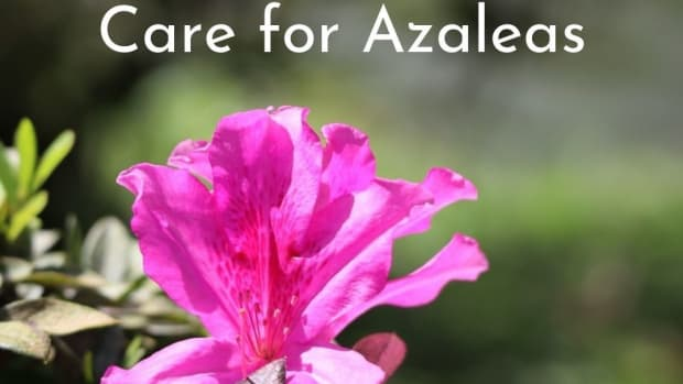 how-to-care-for-azaleas