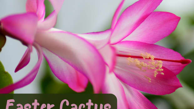 how-to-care-for-easter-cactus