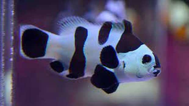 home-aquarium-how-to-care-for-black-and-white-ocellaris-clownfish