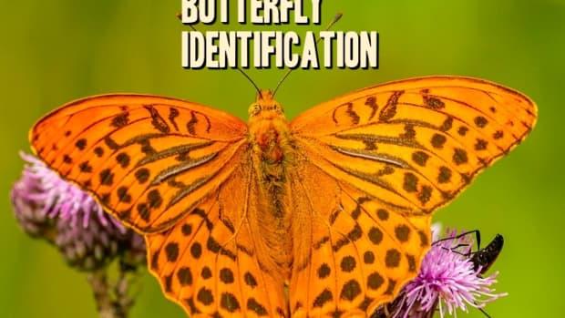 orange-butterfly-identification