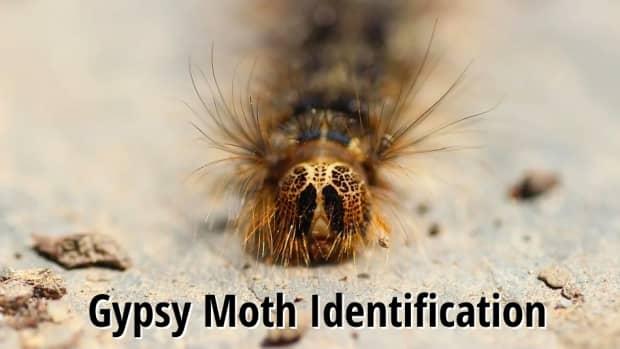 gypsy-moth-caterpillar-identification