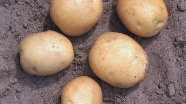 ireland-forgoes-the-irish-potato-in-favor-of-sustainability