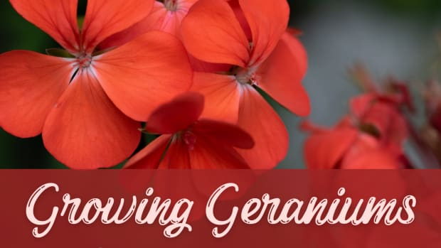 how-to-grow-a-geranium-plant-from-a-cutting