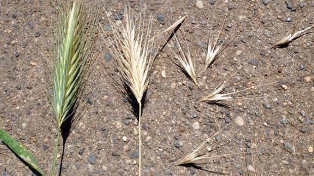 weed-seed-season-how-to-protect-your-animals