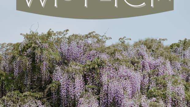 wisteria-vine-types-care-and-propagation
