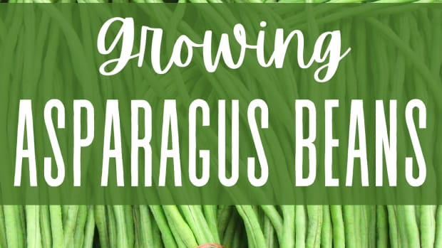 how-to-plant-asparagus-beans-from-seed-to-harvest