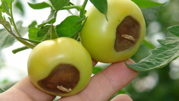 how-to-prevent-blossom-end-rot-in-tomatoes