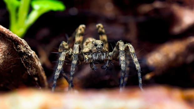 what-do-you-know-about-wolf-spiders-are-they-fearsome-hunters