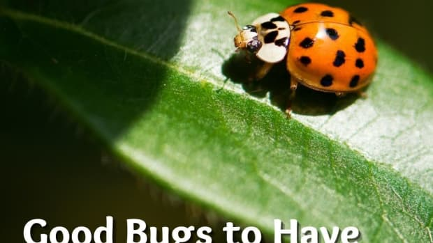 attracting-beneficial-insects-2