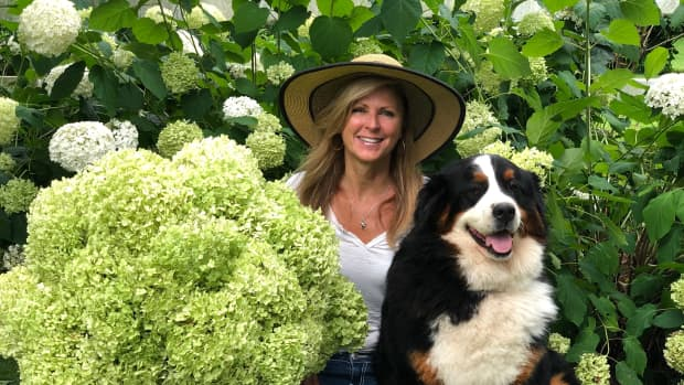 Kelly Lehman and Lucy  in front of  their Endless Summer Hydrangeas at Cranbury Fields Flower Farm