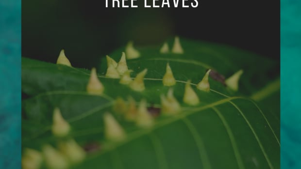 leaf-galls-ugly-bumps-and-spikes-on-tree-leaves