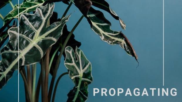 propagating-alocasia-polly