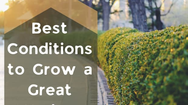 fast-growing-hedge-plants