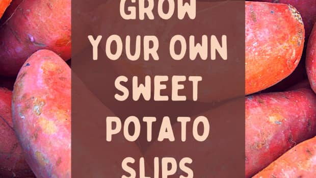 how-to-start-your-own-sweet-potato-slips-for-growing-sweet-potatoes