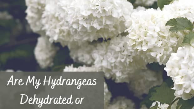 why-hydrangeas-droop-and-what-you-can-do-about-it