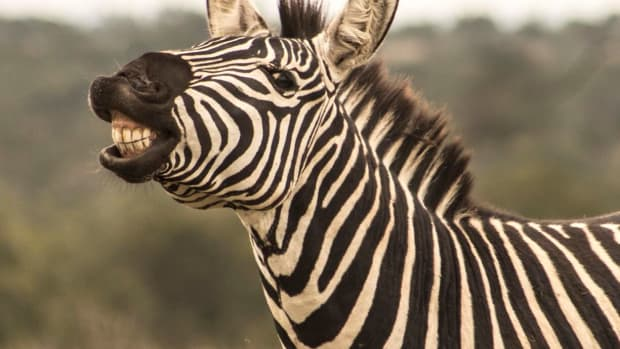 5-unexpected-things-you-might-not-know-about-zebras