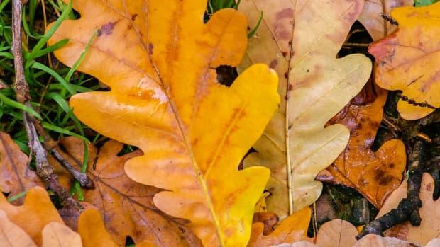 5-great-fast-growing-oak-trees