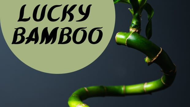 what-is-lucky-bamboo-facts-about-lucky-bamboo