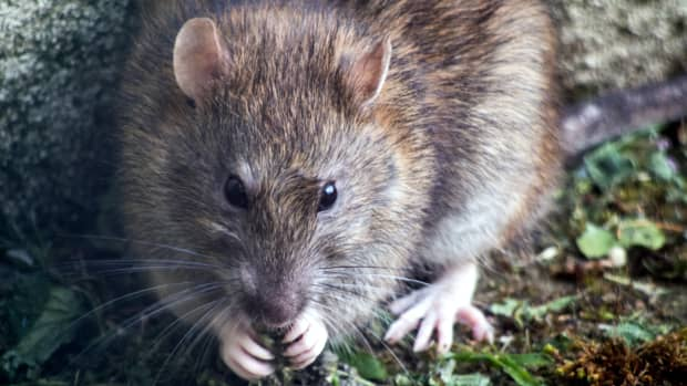 what-you-can-learn-from-the-calling-cards-rats-and-mice-leave-behind